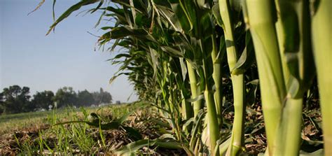Budidaya Jagung Organik cara praktis budidaya jagung organik hasil panen melimpah