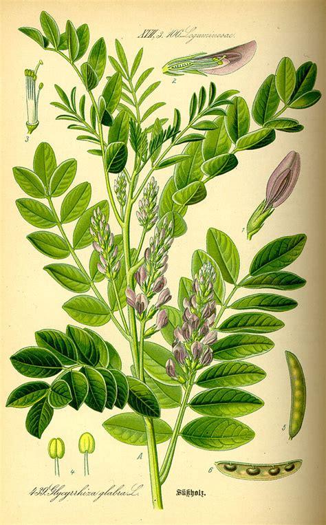 pianta di liquirizia in vaso come coltivare la liquirizia in vaso o in giardino greenme