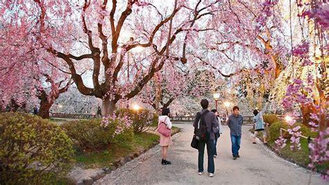 immagini fiori di ciliegio giapponese fiori di ciliegio in giappone stupendo