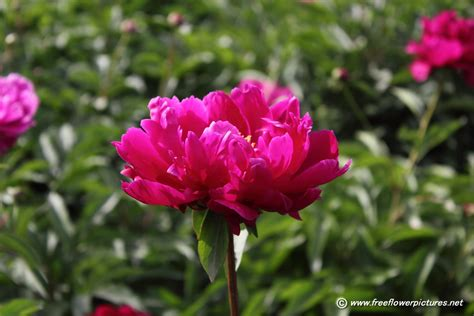 peony flowers red peony flower picture flower pictures 1010
