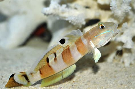 Tiger Sleeper Goby by Swpotd 464