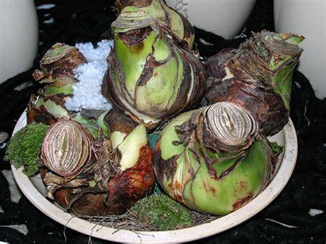Amaryllis Zwiebel Einpflanzen 4509 by Amaryllis Zwiebel Einpflanzen Amaryllis Zwiebel Pflanzen