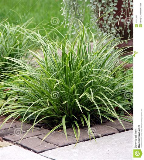 types of garden grass perennial grass royalty free stock photo image 16241495