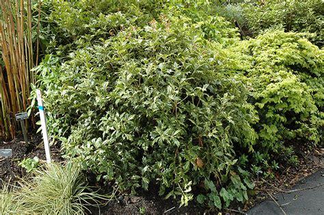 Olive Garden Southern Pines Nc by Variegated False Osmanthus Heterophyllus