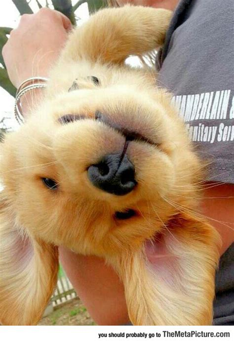 golden retriever bad habits bad day here s an golden retriever puppy