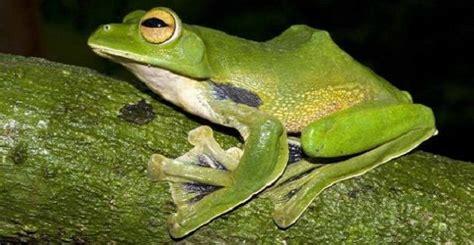 rana volante rhacophorus helenae scoperta in nuova specie di