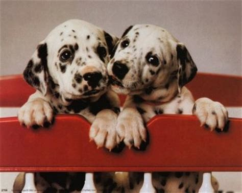 how much do dalmatian puppies cost dalmatian puppies jpg 5 comments