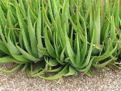 Aloevera The Herb by Aloe Vera The Plant