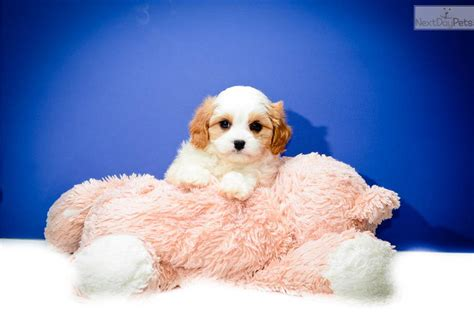 cavachon puppies ohio cavachon puppy for sale near columbus ohio 068c30b5 f881