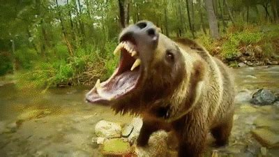 wolves vs grizzly bears extreme fighting ( nat geo wild