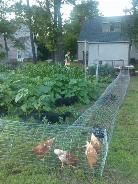 Chicken Garden by Our Chickens In Their Diy Chicken Tunnel We Live In A