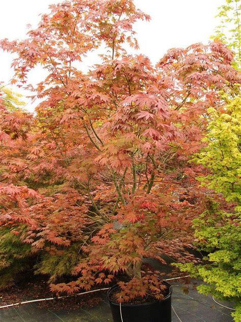 acer ariadne japanese maple  pot   plants