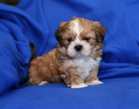 shih tzu puppies for sale in cedar rapids iowa iowa city pets craigslist motorcycle review and galleries