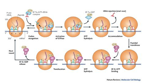 8 protein synthesis steps top three steps of protein synthesis wallpapers