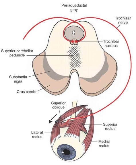identify all indicated parts of the nerve section best 25 cranial nerves function ideas on pinterest rn