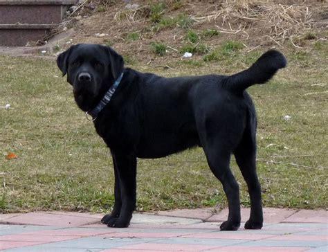 wann ist ein labrador ausgewachsen labrador so sehen sie erwachsen aus