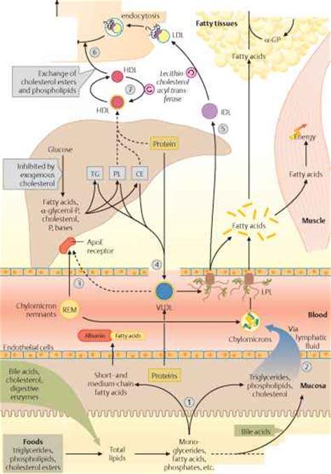 lipid metabolism diagram image gallery lipid metabolism