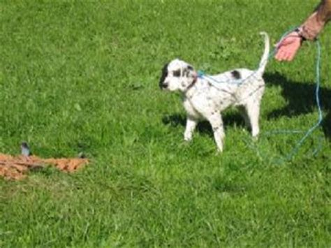 english setter dogs for sale in california english setter puppies for sale