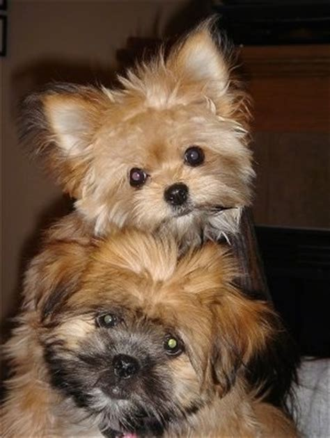 4 month pomeranian pictures shiranian breed pictures 1
