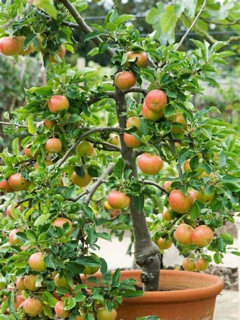 container gardening fruit trees container fruit trees gardening