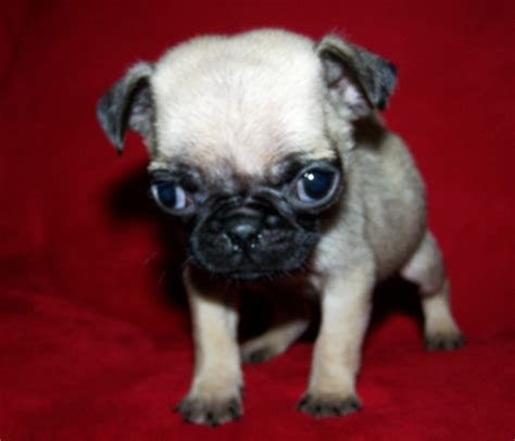 chug puppy chug chihuahua pug mix info temperament grooming pictures
