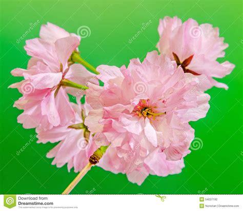 albero fiori rosa i fiori rosa dell albero serrulata kanzan ramo