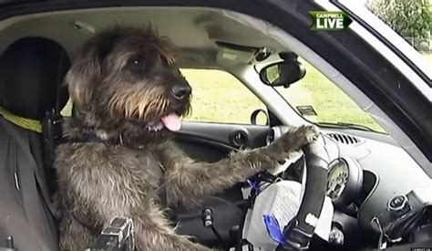 car dogs dogs driving cars new zealand spca puts canines the wheel