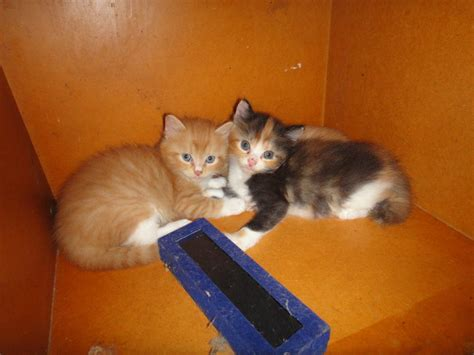 Kucing Medium Hair domestic medium hair cats sold 6 years kucing