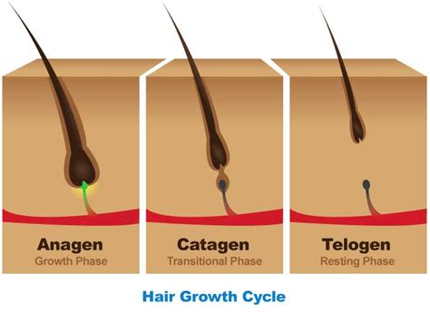 Shedding Phase Of The Hair Growth Cycle by How To Improve The Cycle Of Hair Follicle Growth In Middle