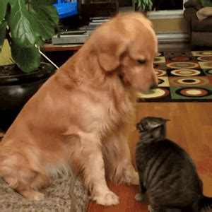cat and golden retriever golden retriever pets cat canis lupus hominis