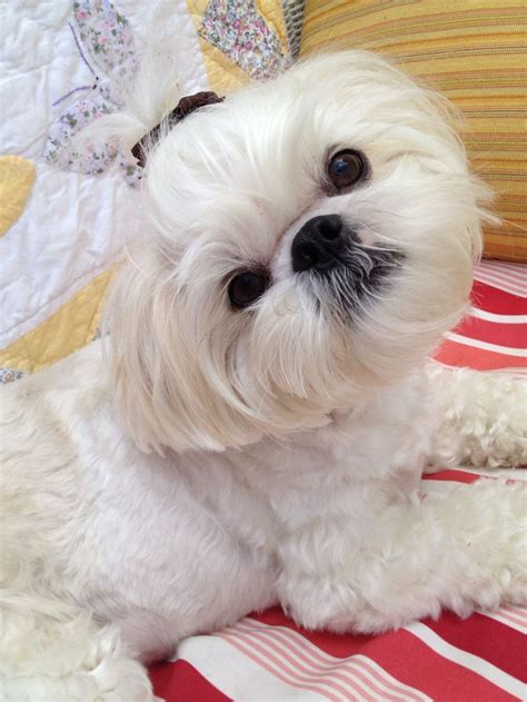 the cutest shih tzu in the world 519 best images about puppies on puppys yorkie and teacup maltese
