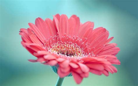 imagenes de rosas hd hd gerbera rosa fondos de pantalla gratis