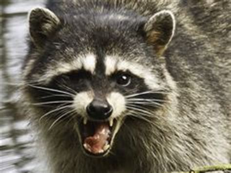 are raccoons dangerous? 11 questions to get the facts