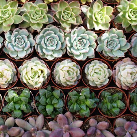 Les Plantes Succulentes by Mini Plantes Grasses Arr 233 E Succulentes