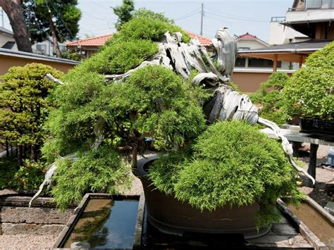 old bonsai tree top 5 oldest bonsai trees bonsai empire