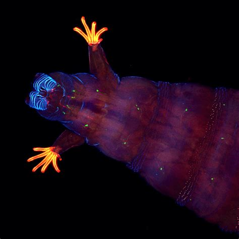 fruit fly larvae creepy ups best microscope critter photos wired