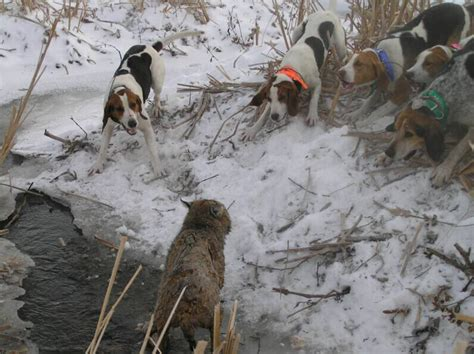 coyote hounds for sale wi hound hunters right to run dogs versus land use ethics