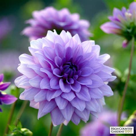 Sq 421 by Dahlia Blue Boy Spring Planted Flower Bulbs High