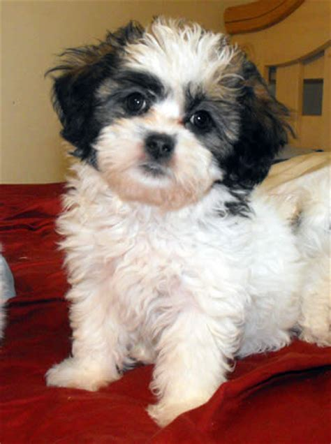 teddy grown image gallery shichon grown