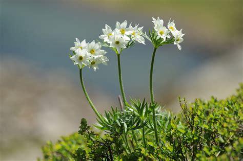 fiori narciso la storia fiore di narciso ficcanasando