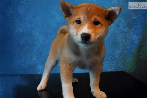 shiba inu puppies for sale california shiba inu puppy for sale near san diego california 4b58e0c3 1801