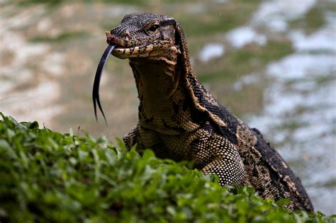 monitor lizards   bangkok park    control time