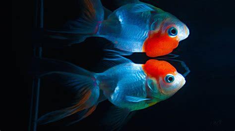 goldfish hd wallpaper goldfish full hd wallpaper and background image