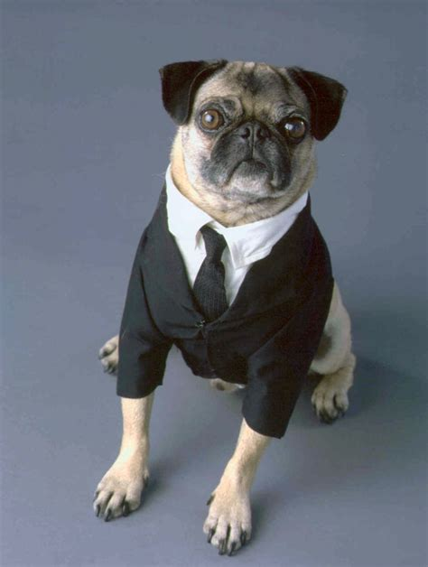 pug costume ideas top 15 pug costumes what the pug http whatthepug top 15 pug