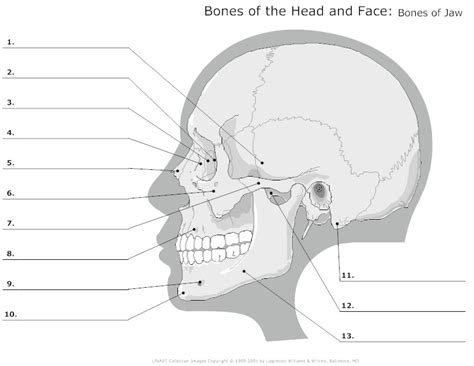 advanced skull labeling free worksheets google search