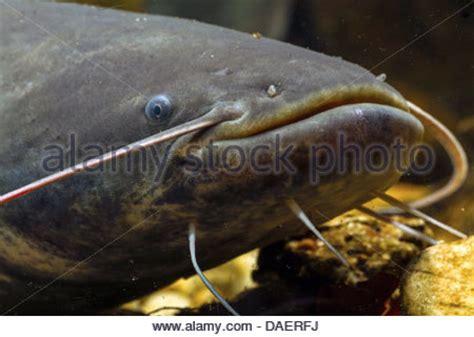 european catfish wels catfish silurus glanis drawing