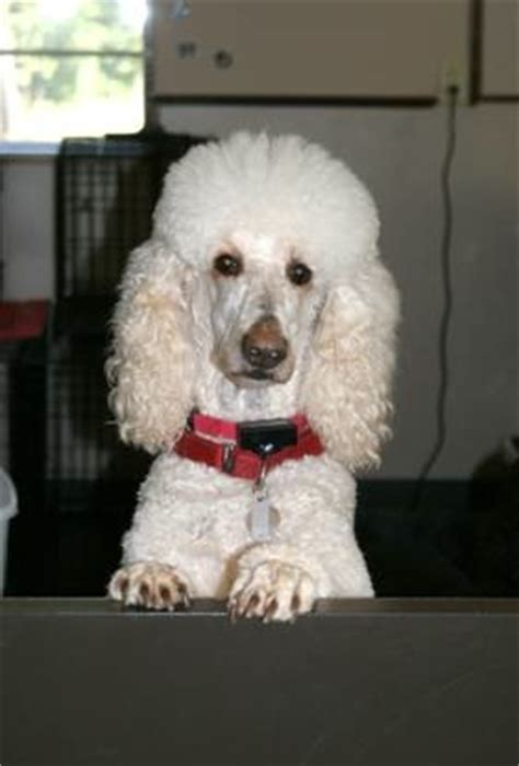 poodle puppies for sale in nc standard poodle rescue carolina dogs our friends photo