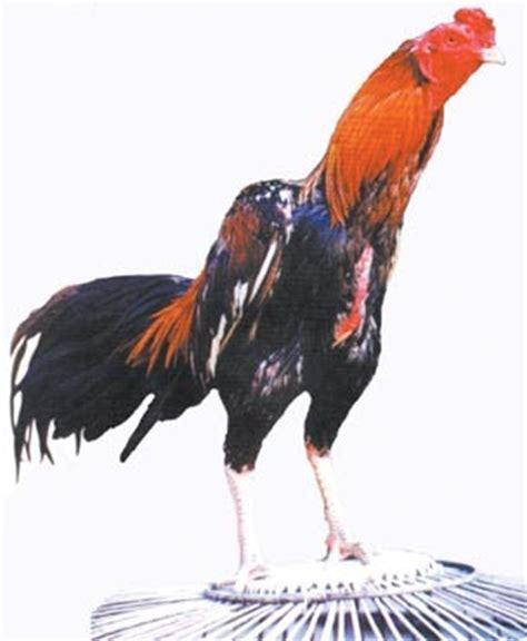Anakan Ayam Saigon anakan impor saigon birma bk jenis ayam aduan dari masa ke masa