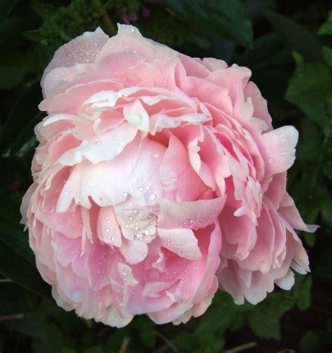 top ten kentucky perennial flowers