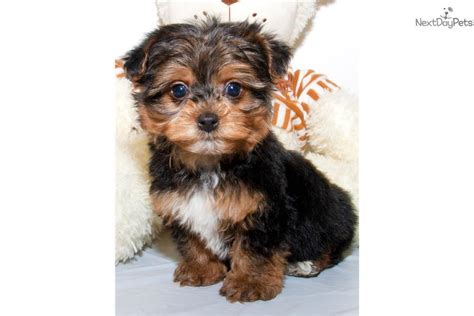 yorkie poo for sale in ohio yorkiepoo yorkie poo puppy for sale near columbus ohio 8a96e3c8 9c81